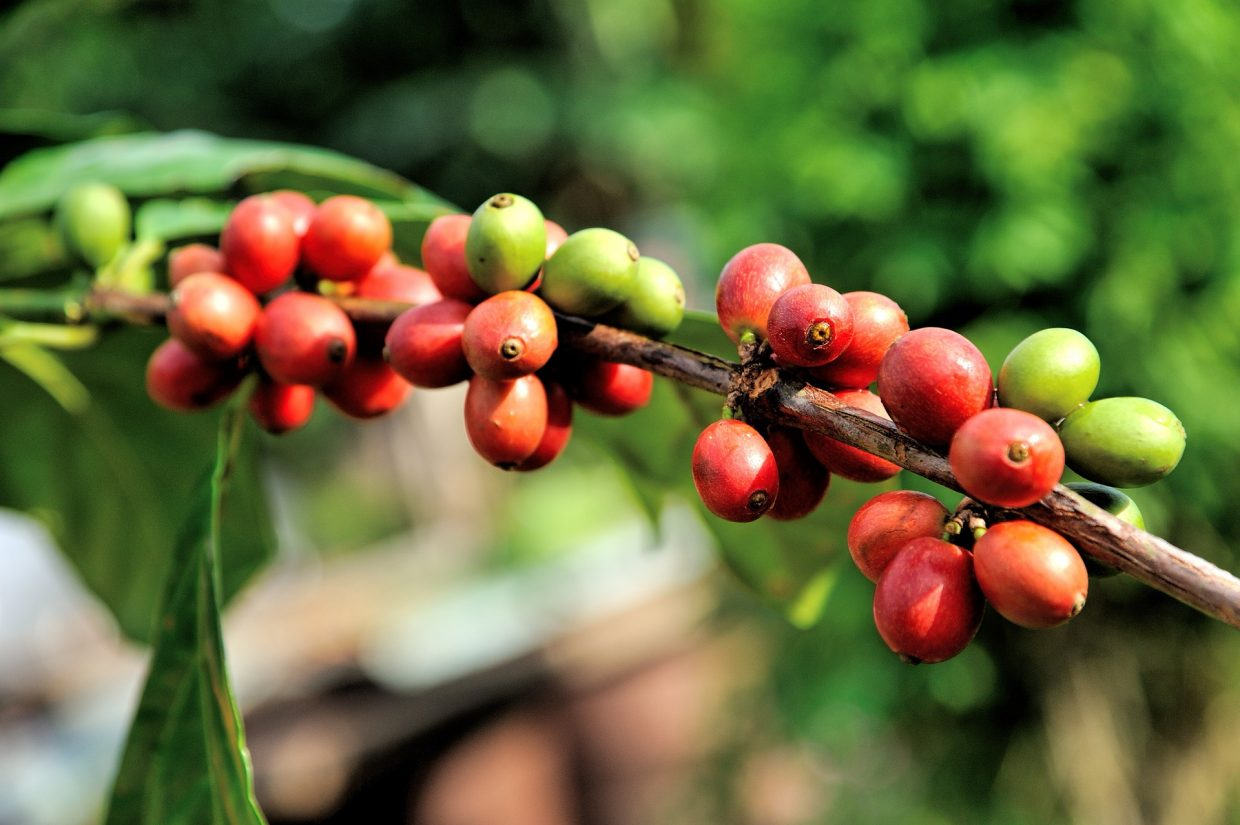 Low Hanging Fruit - Caffine Induced Anxiety